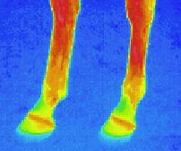 heat radiation: Infrared image of a horse